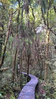 Rimu forest